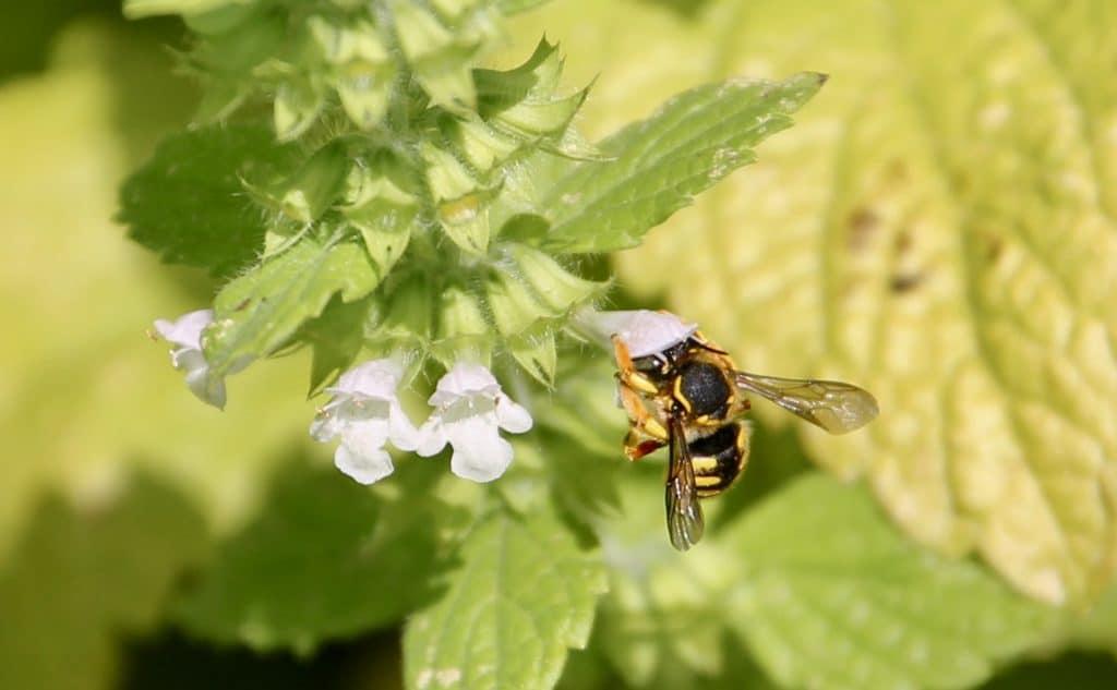 Anthidie à manchettes, femelle, sur mélisse en fleurs.