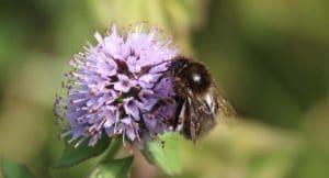Bourdon variable sur menthe en fleurs.