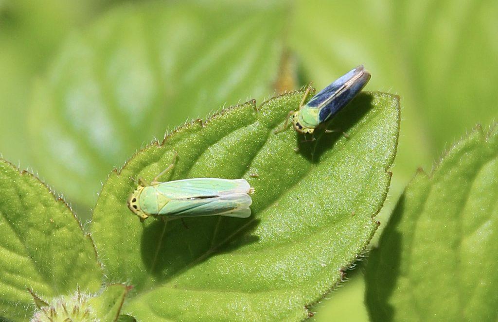 Cicadelle verte femelle et mâle sur menthe des champs.