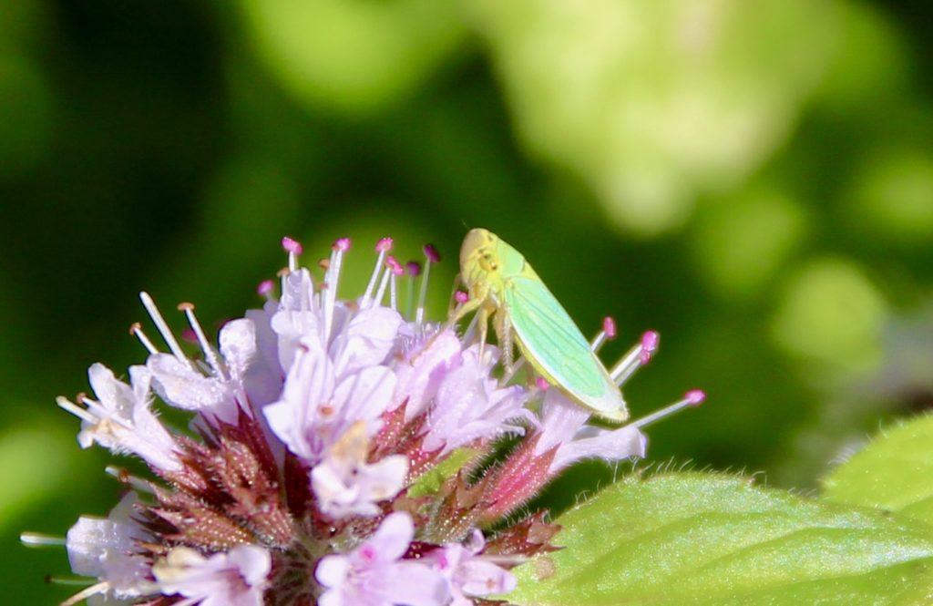 Cicadelle verte femelle sur menthe des champs.