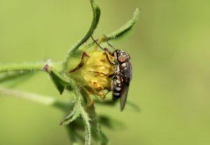Mouche des criquets, femelle, sur capitule de Bident feuillé.