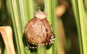 Argiope frelon, femelle, sur son cocon.