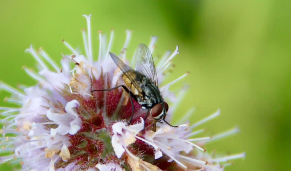 Mouche automnale sur fleurs de Menthe des champs.