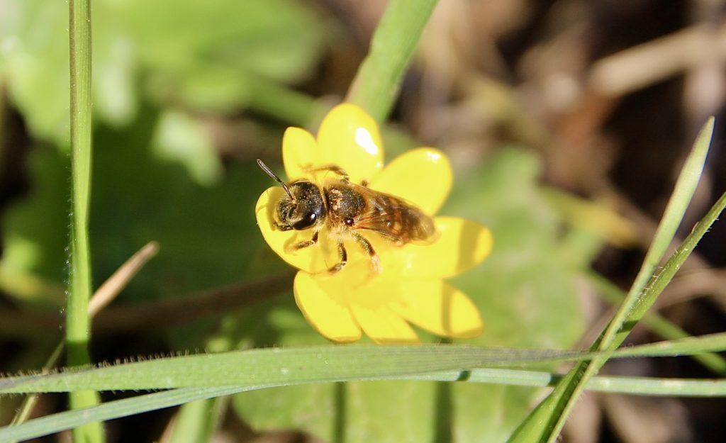 Halicte sur fleur de la Ficaire fausse-renoncule.