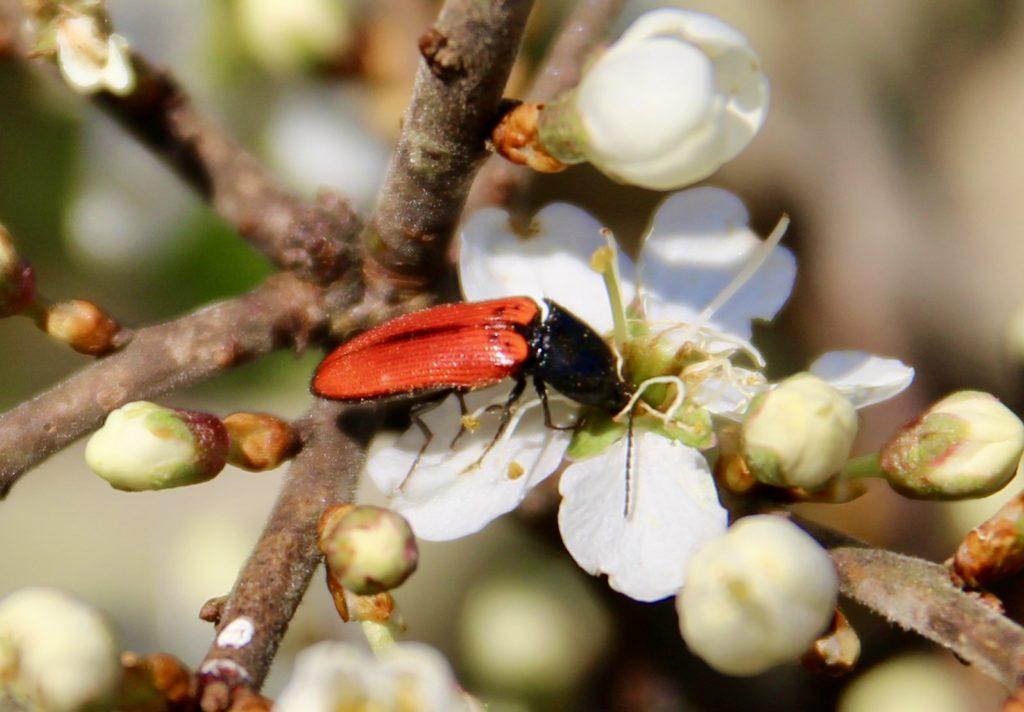 Taupin sanguin sur fleur de prunellier.