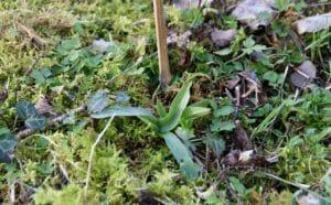 Orchidées sauvages : rosette de l'Ophrys abeille.