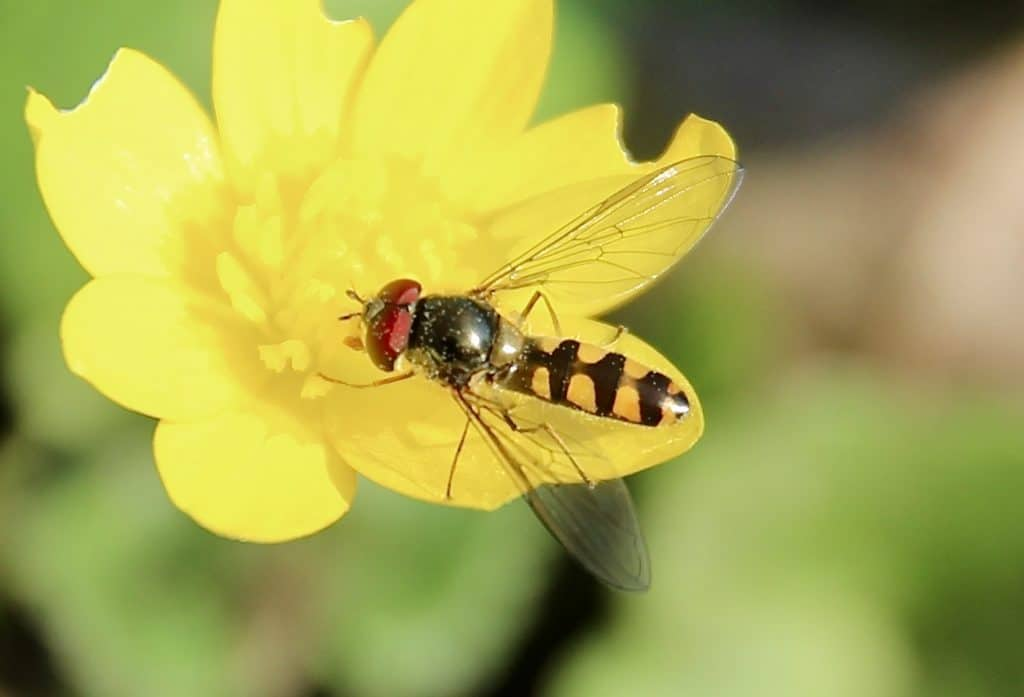 Syrphe à collier doré (Meliscaeva auricollis) sur fleur de Ficaire fausse-renoncule.