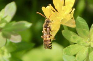 Nomade à pattes orangées sur fleurs de Ficaire.