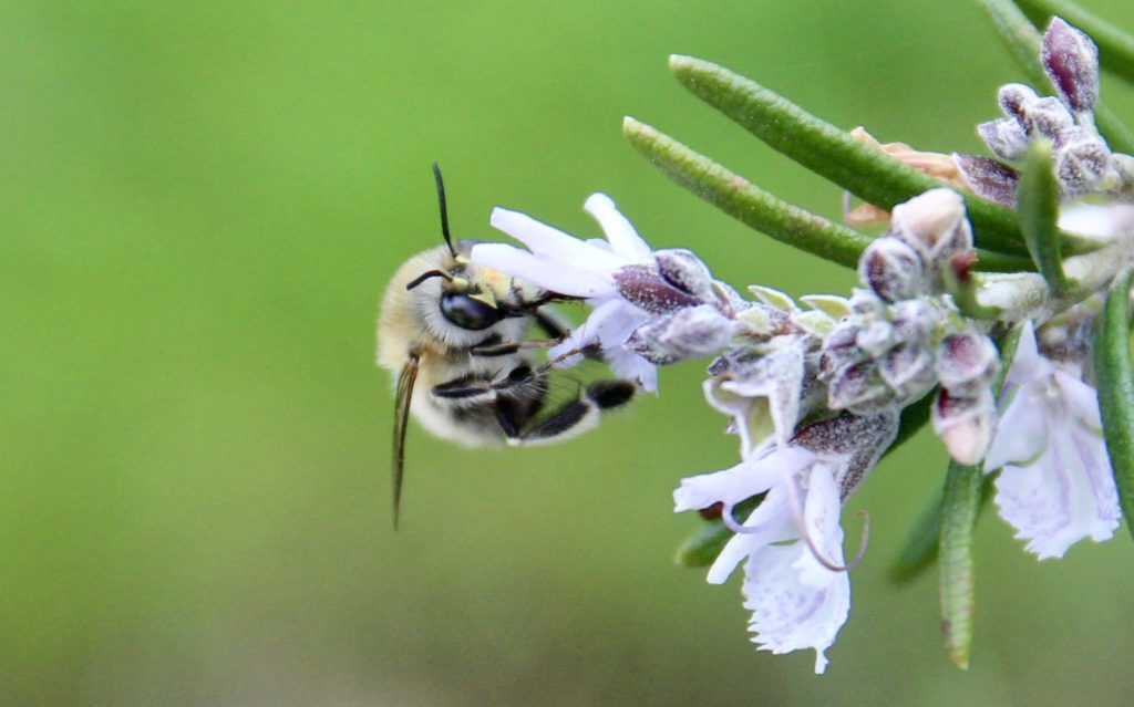 Anthophore à pattes plumeuses, mâle, sur fleur de romarin.