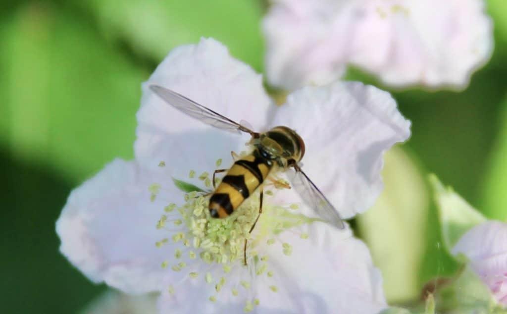 Syrphe à collier doré (Meliscaeva auricollis) sur fleur de ronce commune.