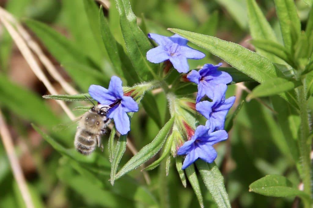 Grémil bleu pourpre et Anthophore à pattes plumeuses.