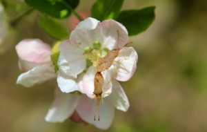 Punaise des noisettes, accouplement sur fleur de pommier.