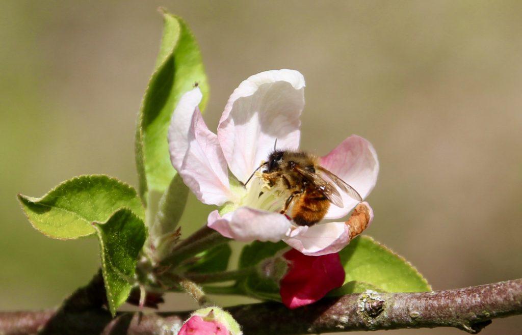 Osmie rousse commune sur fleur de pommier.