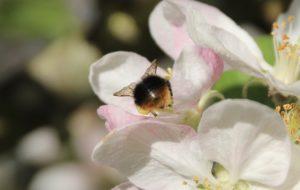 Ouvrière du Bourdon des prés sur fleur de pommier.