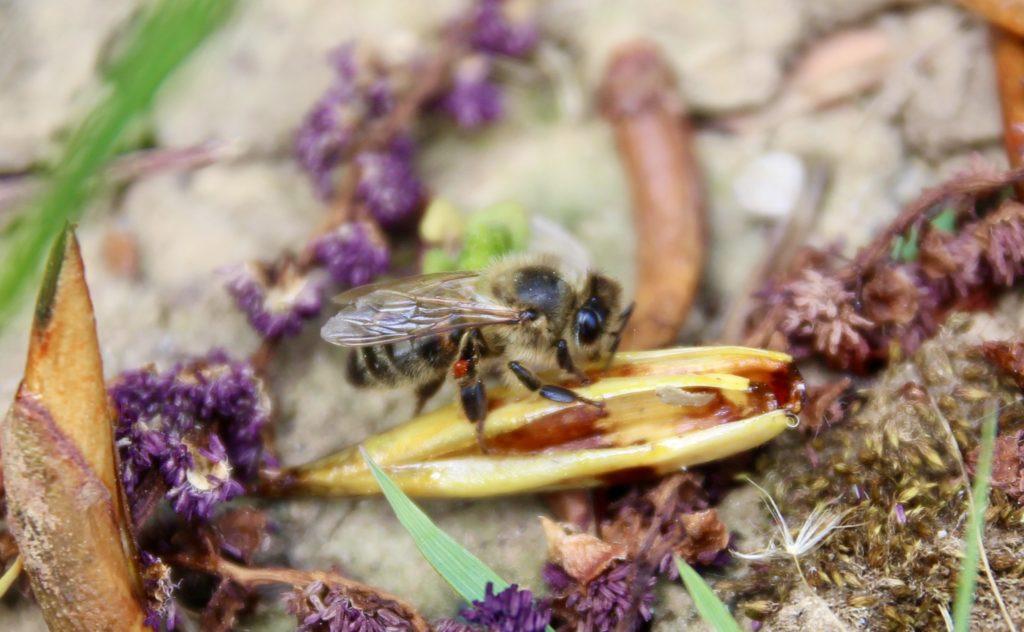La propolis aussi commence ici : collecte de résine sur les écailles des bourgeons.