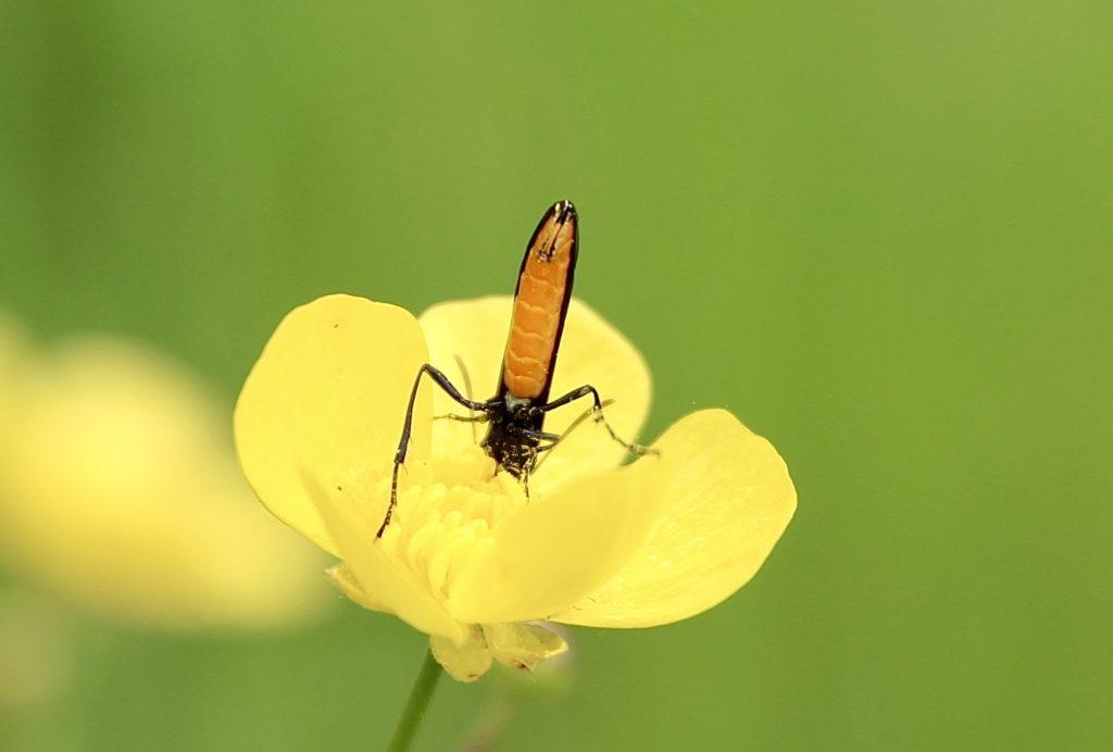 Calameute pygmée sur fleur de bouton d'or.