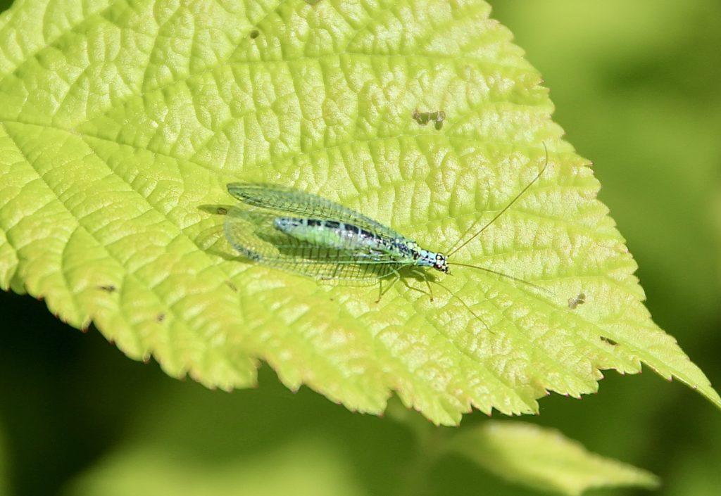 Chrysope commune (Chrysopa perla).