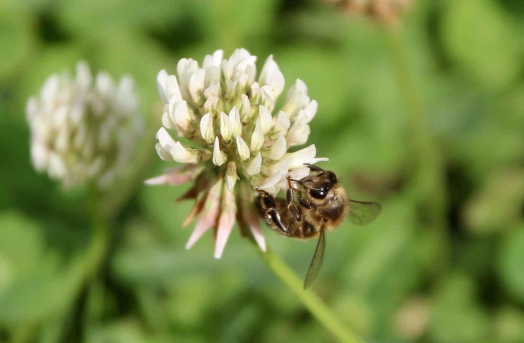 Trèfle blanc et abeille domestique.
