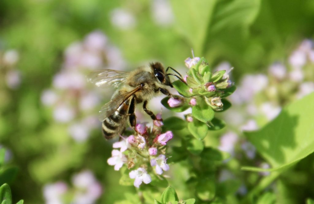 Thym en fleur et abeille domestique