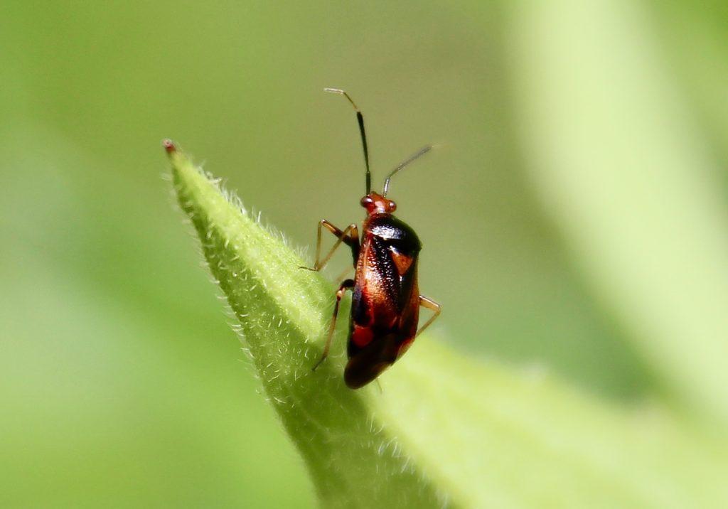Deraeocoris ruber, mâle, sur jeune pousse de rudbeckia.