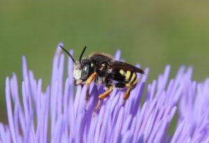 Fleurs d'artichaut, Anthidie interrompue, mâle.