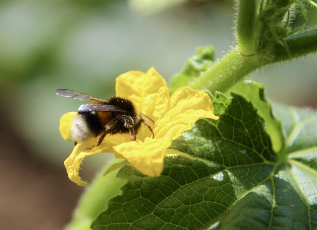 Légumes-fruits et pollinisateurs : le concombre.