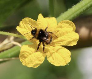 Légumes-fruits et pollinisateurs : bourdon sur fleur de concombre.