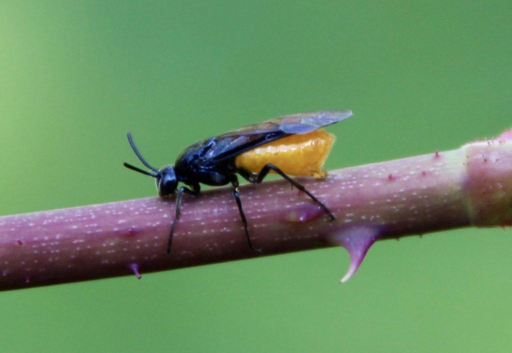 Tenthrède du rosier, femelle, ponte sur jeune pousse de rosier.