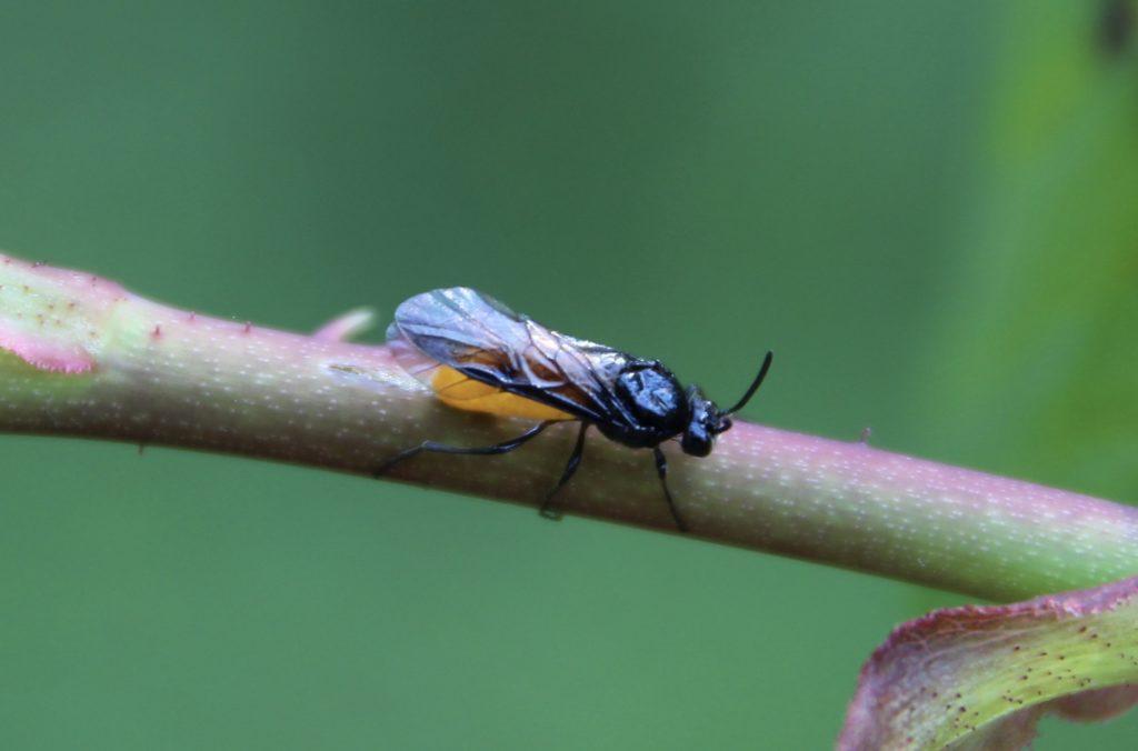 Tenthèdre du rosier, femelle en ponte sur jeune pousse de rosier.