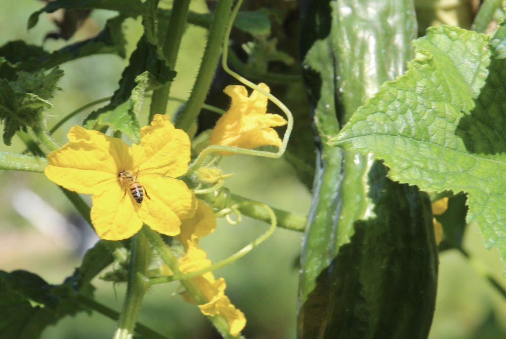Légumes-fruits et pollinisateurs : abeille sur fleur de concombre.