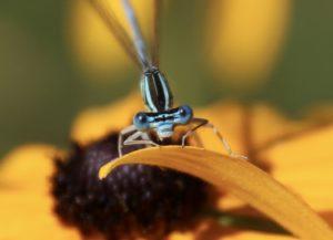 Pennipatte bleuâtre sur rudbeckia.