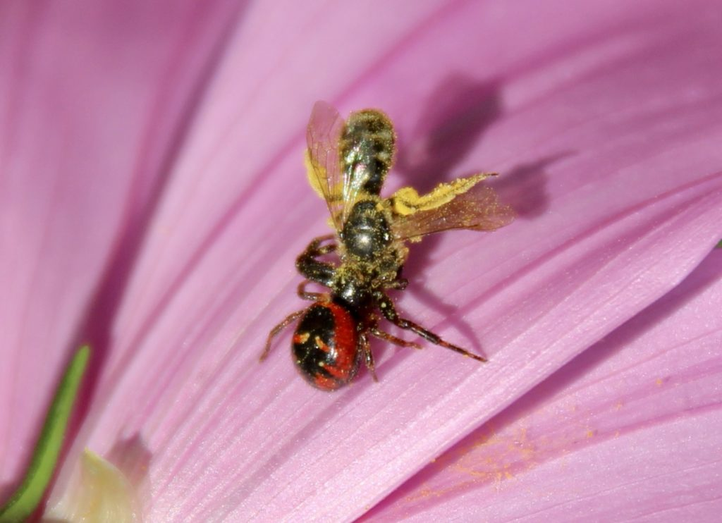 Thomise variable femelle et sa proie.