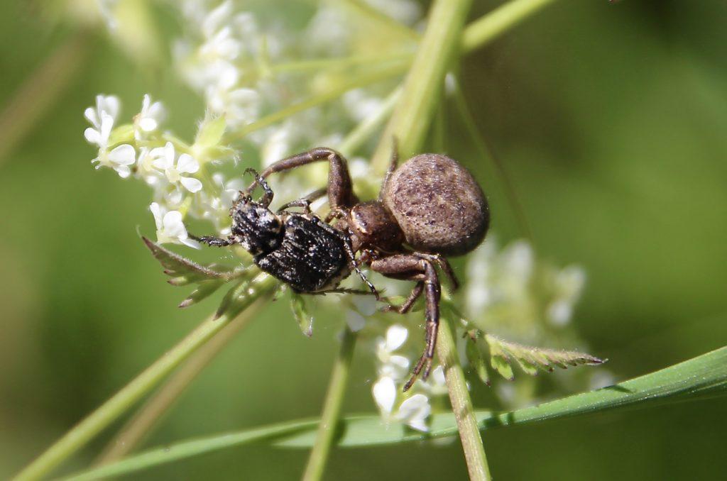 Araignée Xystique et Cétoine à tarière.
