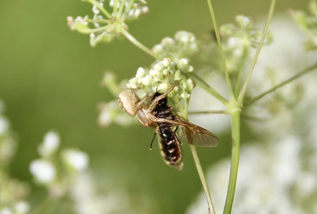 Araignée Xystique et Chloromyie agréable.