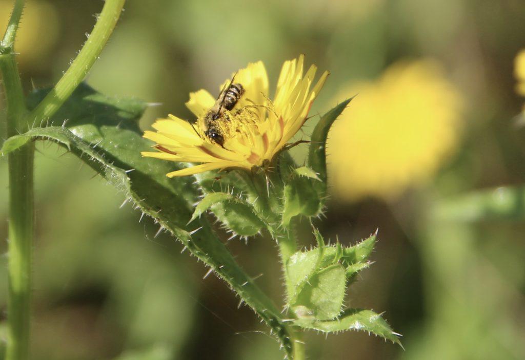 Picride fausse-vipérine et Mégachile sp.