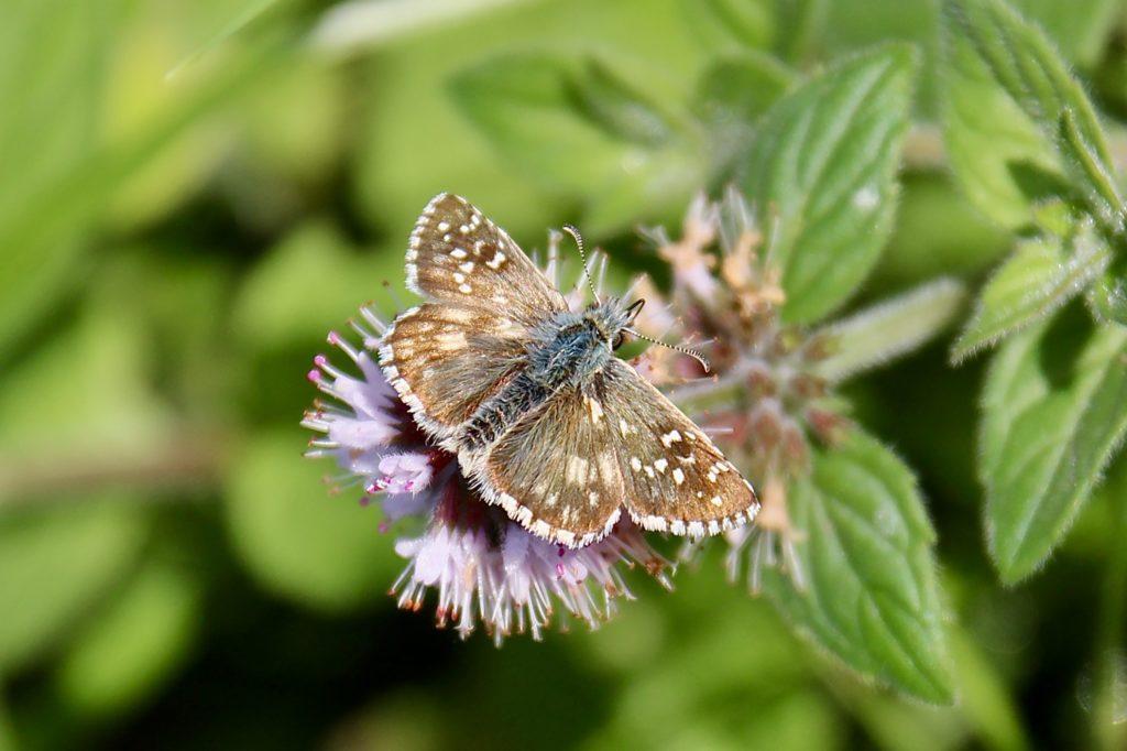 Papillons d'octobre : Hespérie des potentilles.