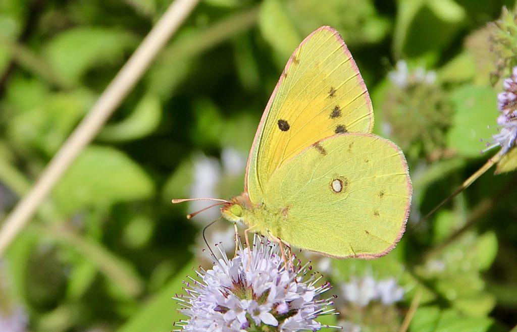 Papillons d'octobre : le Souci...