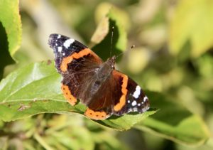 Papillons d'octobre : le Vulcain...